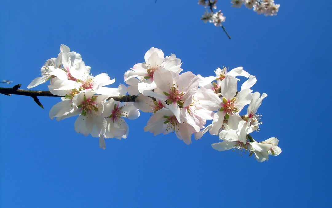 Fiori rosa, fiori di… marzo. 5 fiori invernali della Murgia materana.