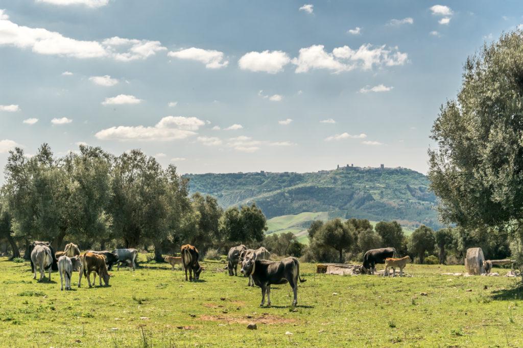 Sei su: mangiare e bere a Matera. Podoliche al pascolo brado in agro di Matera. Sullo sfondo, il paese di Montescaglioso