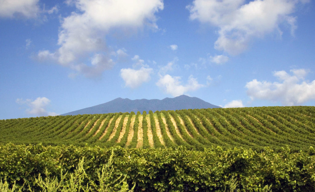 Sei su: Mangiare e bere a Matera. Vigneto di aglianico con monte Vulture sullo sfondo.